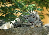 Snow leopard's resting — Stock Photo
