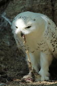 Snowy owl eating — Stock Photo