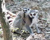 Lemur catta (maki) of Madagascar baby and mum — Stock Photo