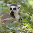 Lemur catt(maki) of Madagascar — Stockfoto #29212589