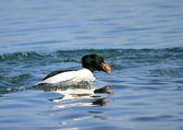 Male goosander duck eating bread — Stock Photo