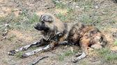 Wild dog lycaon pictus resting — Stock Photo