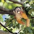 Stock Photo: Squirrel monkey eating