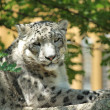 Snow leopard's resting — Stock Photo #29363079