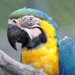 Ara macaw portrait — Stock Photo