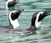 Humboldt spheniscus penguins swimming — Stock Photo