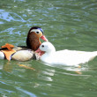 Mandarin and pekin ducks — Stock Photo