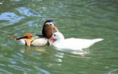 Mandarin and pekin ducks — Stock Photo