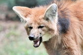 Maned wolf portrait — Stock Photo