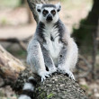 Lemur catta (maki) of Madagascar — Stockfoto