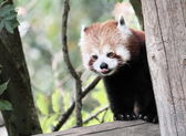Curious red panda — Stock Photo