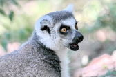 Lemur catta (maki) of Madagascar — Stock Photo