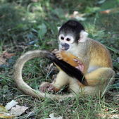 Squirrel monkey eating on the ground — Stock Photo