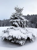 Fir trees in winter, Jura mountain, Switzerland — Stock Photo