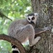 Lemur catta (maki) of Madagascar — Stock Photo #31266367