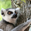 Lemur catta (maki) of Madagascar — 图库照片