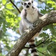 Lemur catta (maki) of Madagascar — Stock fotografie