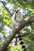 Lemur catta (maki) of Madagascar — Stock Photo