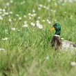 Male mallard duck and flowers — Foto Stock #33076987
