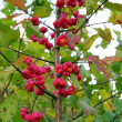 Stock Photo: Spindle tree (euonymus europaeus)
