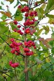 Spindle tree (euonymus europaeus) — Stock Photo