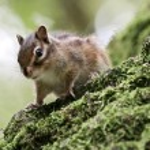 Chipmunk on a tree — Stock Photo