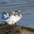 White swans near the lake — Foto de Stock