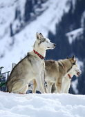 Siberian husky dogs resting — Stock Photo
