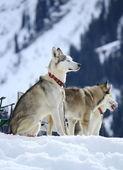Siberian husky dogs resting — Foto Stock