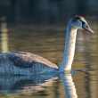 Young mute swan on water — Stock Photo