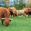 Herd of highland cows by autumn day — Stock Photo #38199951