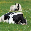 Holstein cows having rest — Stock Photo
