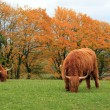 Herd of highland cows by autumn day — Stock Photo #38352497