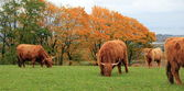 Herd of highland cows by autumn day — Stock Photo