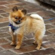 Baby chow-chow — Stock Photo #40641589