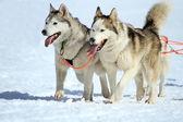 在工作的爱斯基摩雪橇狗队 — 图库照片