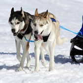 A husky sled dog team at work — Stockfoto