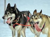 A husky sled dog team at work — Stock Photo