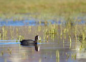 Quiet coot in the pond — Stock Photo