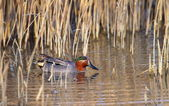 Eurasian (or common) teal duck in the pond — Стоковое фото