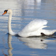Mute swan with open wings — Stock Photo