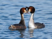 Great crested grebe ducks courtship — Stock Photo