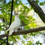 Dove in the tree — Stock Photo #46106209