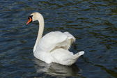 Mute swan (cygnus olor) with open wings — Stock Photo