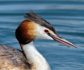 Crested grebe (podiceps cristatus) duck portrait — Stock Photo