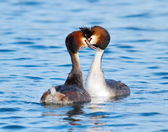 Crested grebe (podiceps cristatus) duck courtship — Stock Photo