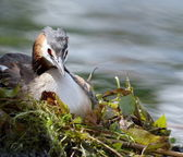 Crested grebe (podiceps cristatus) duck on nest — Stock Photo