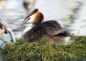 Crested grebe (podiceps cristatus) duck on nest — Stock Photo