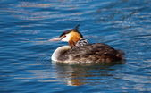 Crested grebe, podiceps cristatus, duck and baby — Foto Stock