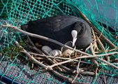 Eurasian female coot duck, fulica atra, brooding nest — Stock Photo